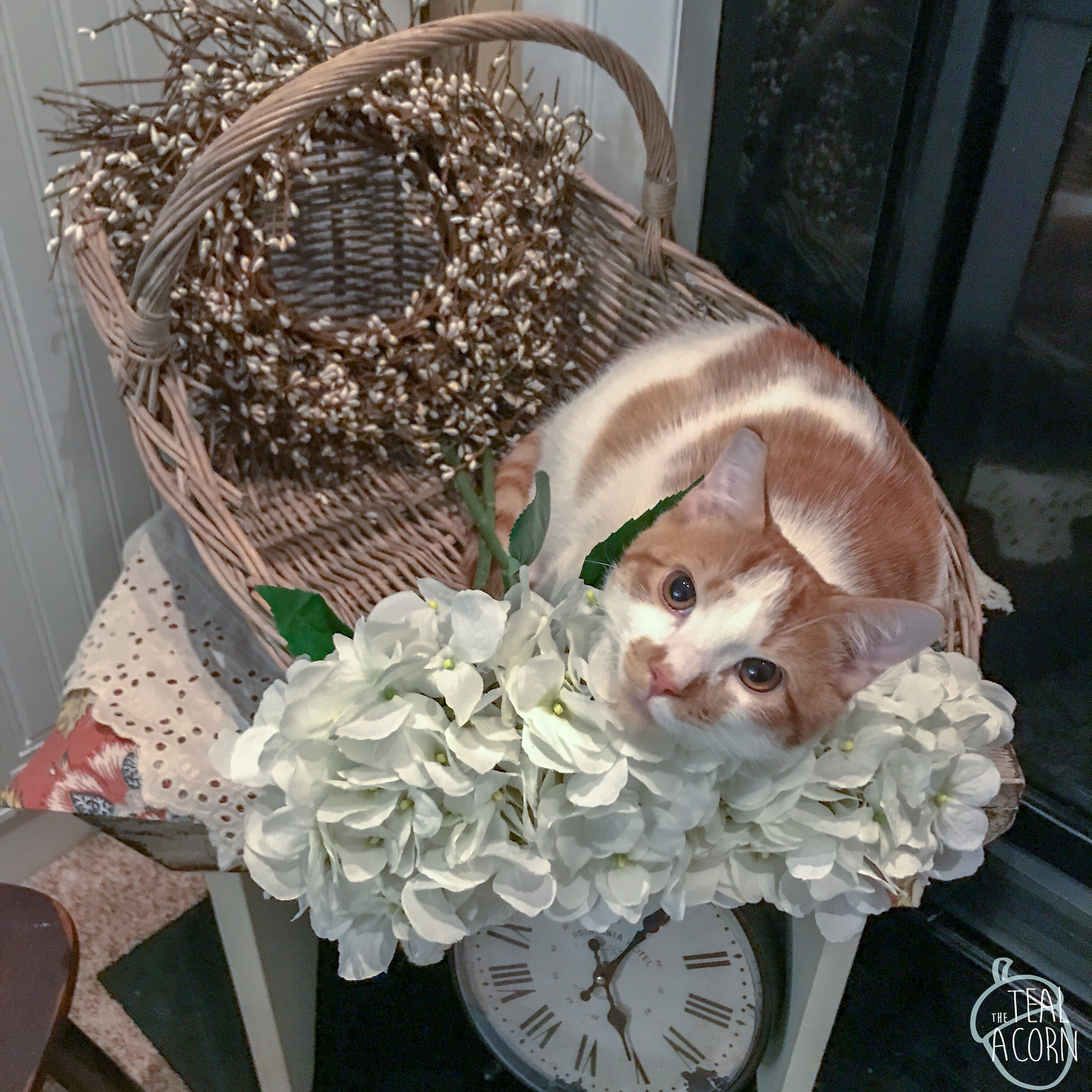wicker gathering basket with white hydrangeas with cat in basket